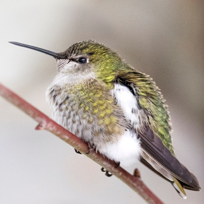Anna's hummingbird female