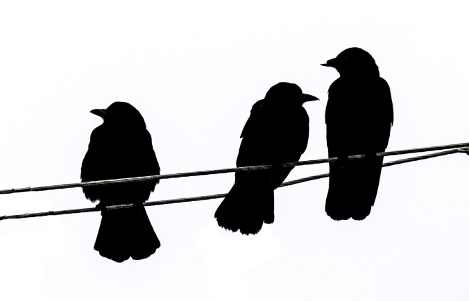 Crow family in silhouette