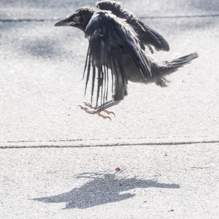 Baby crow tries to fly, photography by June Hunter, part of The Urban Nature Enthusiast blog post Real Baby Crows of East Van, image copyright June Hunter 2017