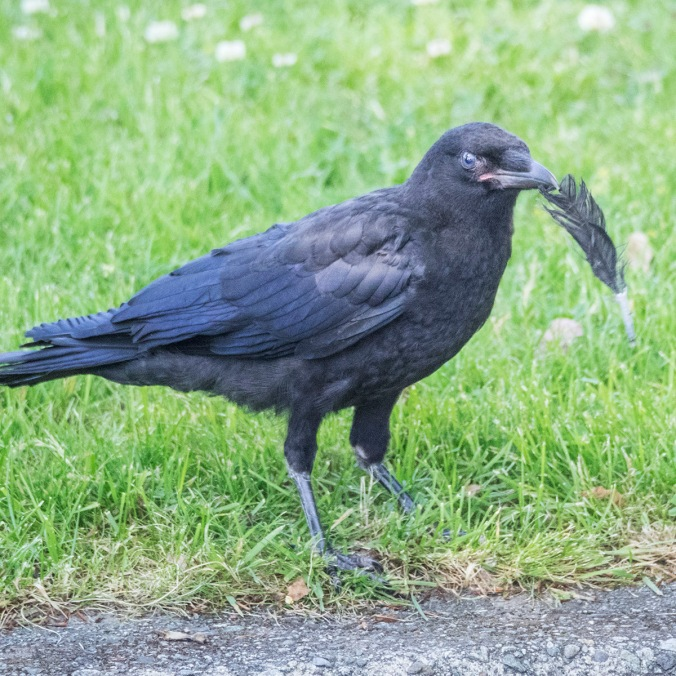 Baby Crow with Feather, photography by June Hunter, part of The Urban Nature Enthusiast blog post Real Baby Crows of East Van, image copyright June Hunter 2017