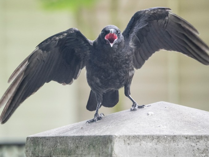 Baby yells for food, photography by June Hunter, part of The Urban Nature Enthusiast blog post Real Baby Crows of East Van, image copyright June Hunter 2017