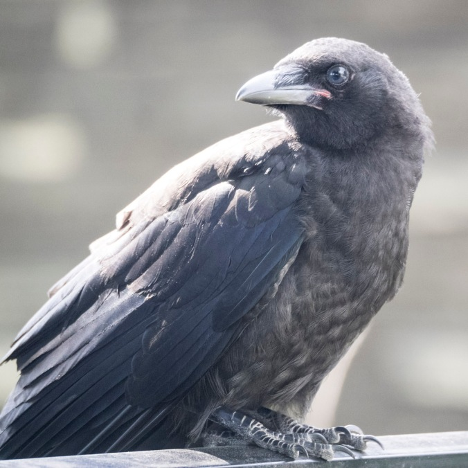 Baby Crow on a car roof, photography by June Hunter, part of The Urban Nature Enthusiast blog post Real Baby Crows of East Van, image copyright June Hunter 2017