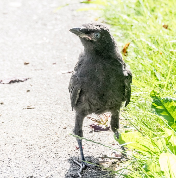 Baby Crow, photography by June Hunter, part of The Urban Nature Enthusiast blog post Real Baby Crows of East Van, image copyright June Hunter 2017