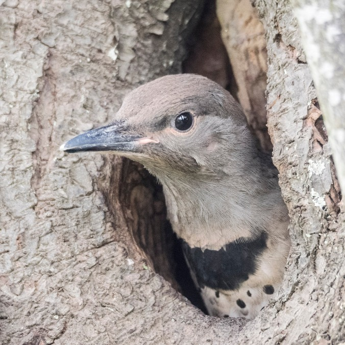 baby flicker looks out of nest, photograph by June Hunter, 2017