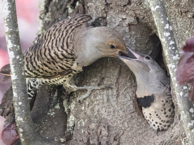 Northern Flicker mother feeds baby, photograph by June Hunter, 2017