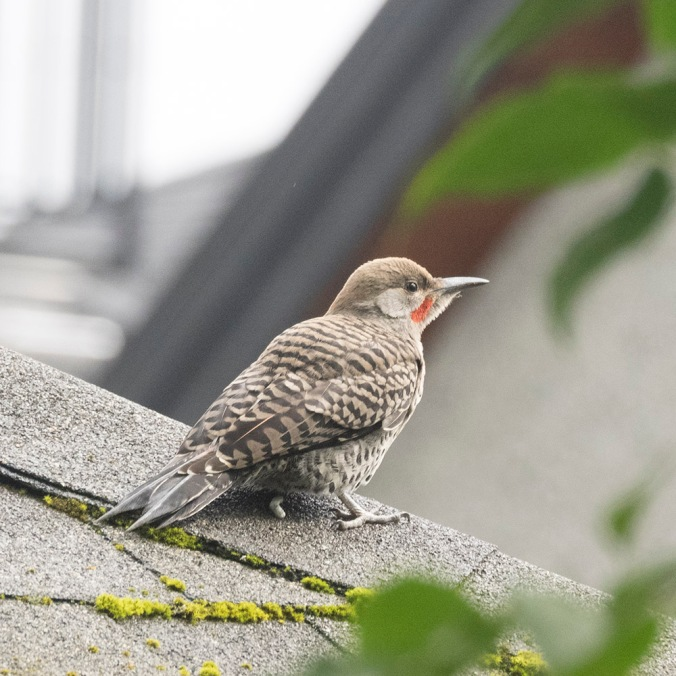 Male Flicker fledgling on roof, photography by June Hunter, © June Hunter 2017 www.junehunterimages.com