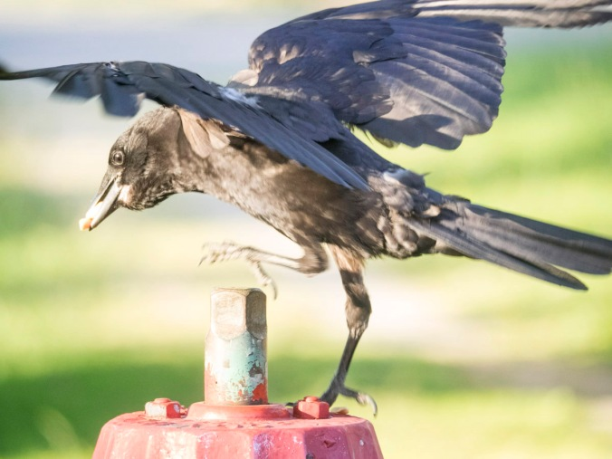 Crow on a Fire Hydrant