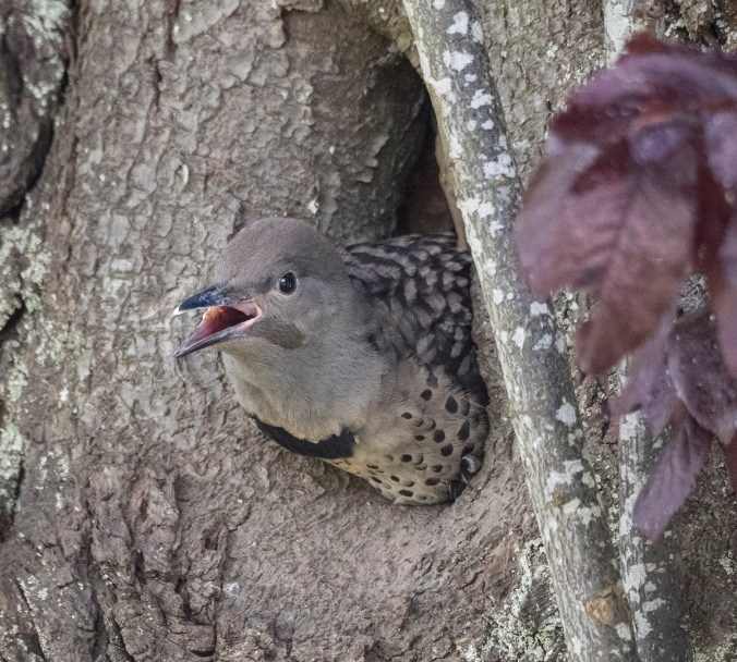 Baby Northern Flicker, photo by © June Hunter Images, 2017