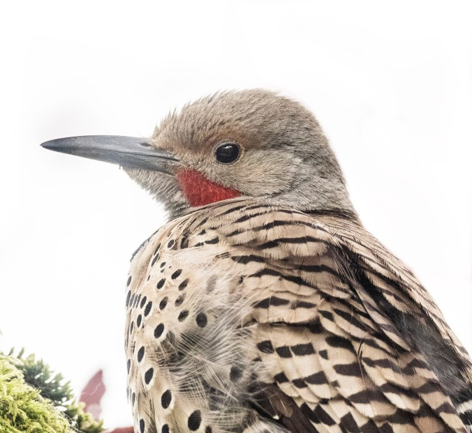 Northern Flicker profile close up, photograph by June Hunter, 2017