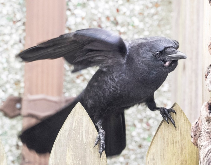 crow on a fence, photograph by June Hunter