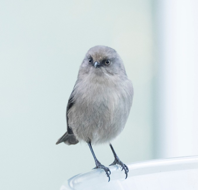 Bushtit photo by June Hunter