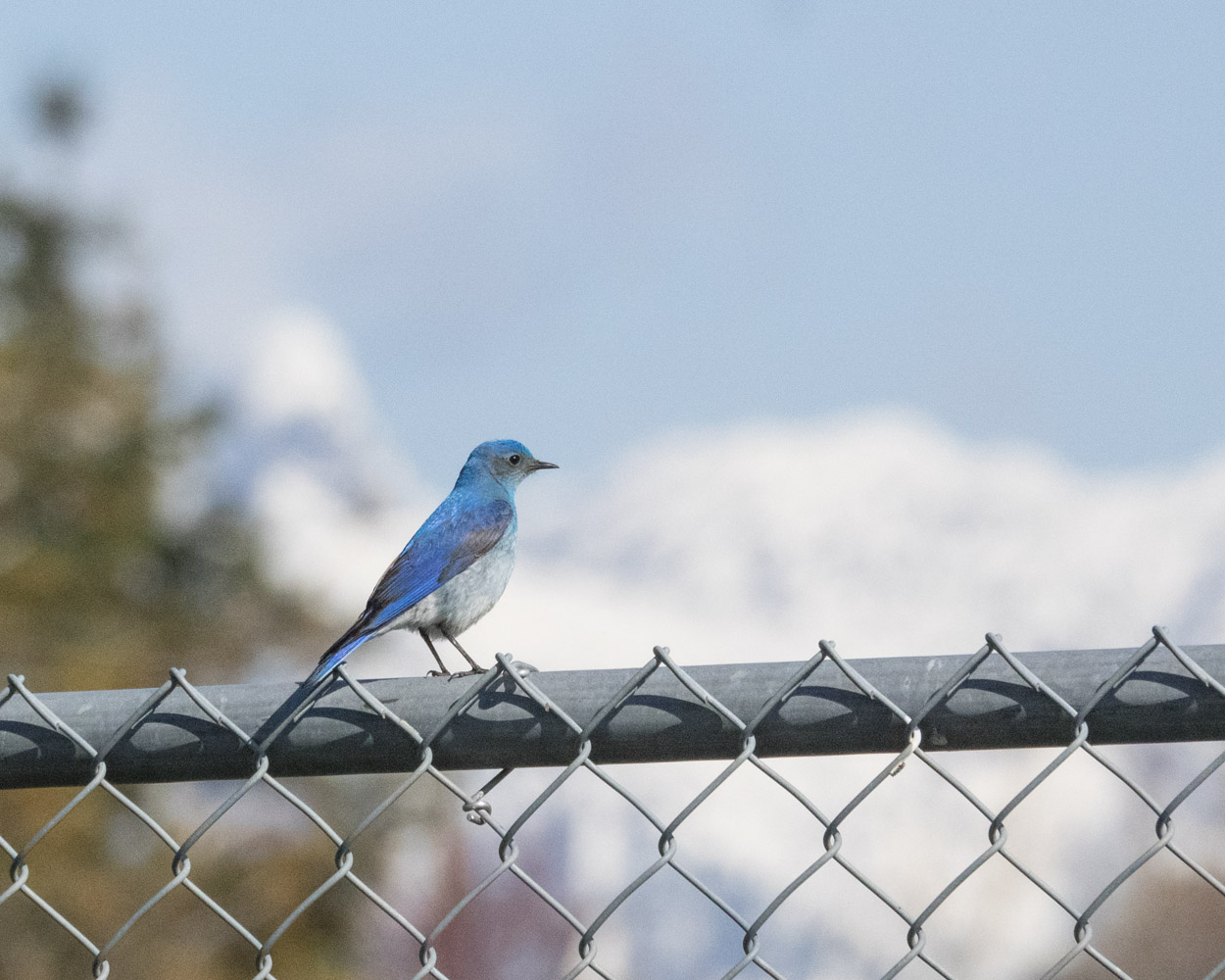 Mountain Bluebird on Fence with Mountain View