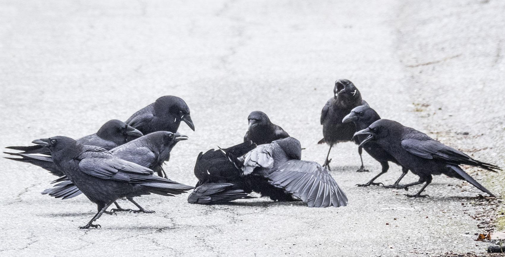 Crow Fight 1