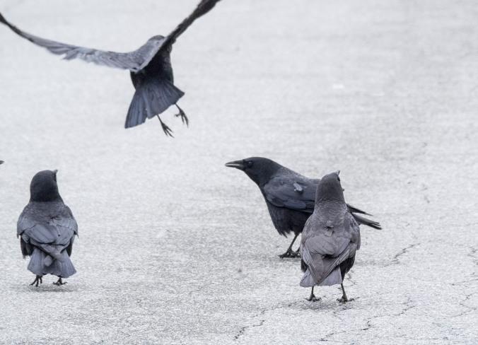 Crow Fight 9