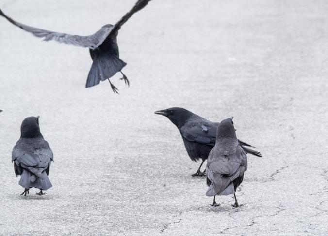 Crow Fight 9