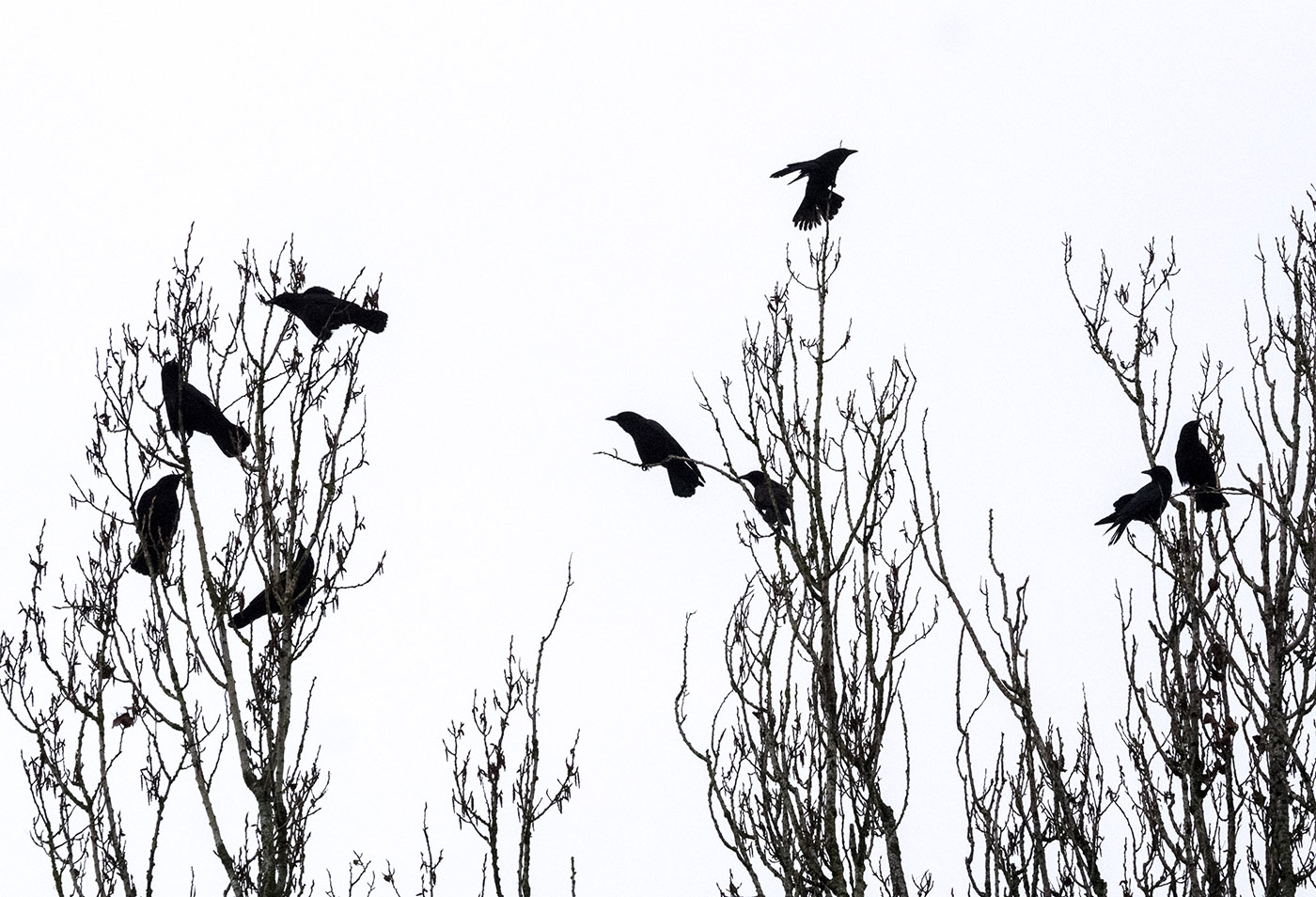 Crows in the Poplars