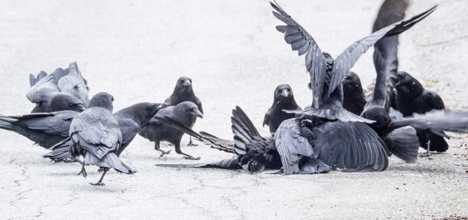 Crow Fight 2