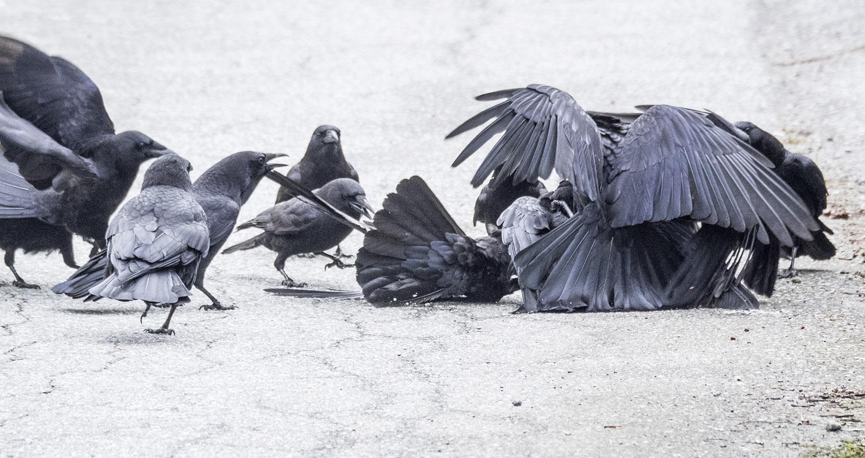 Crow Fight 3