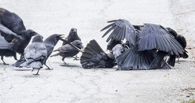 Crow Fight 3