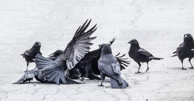 Crow Fight 6