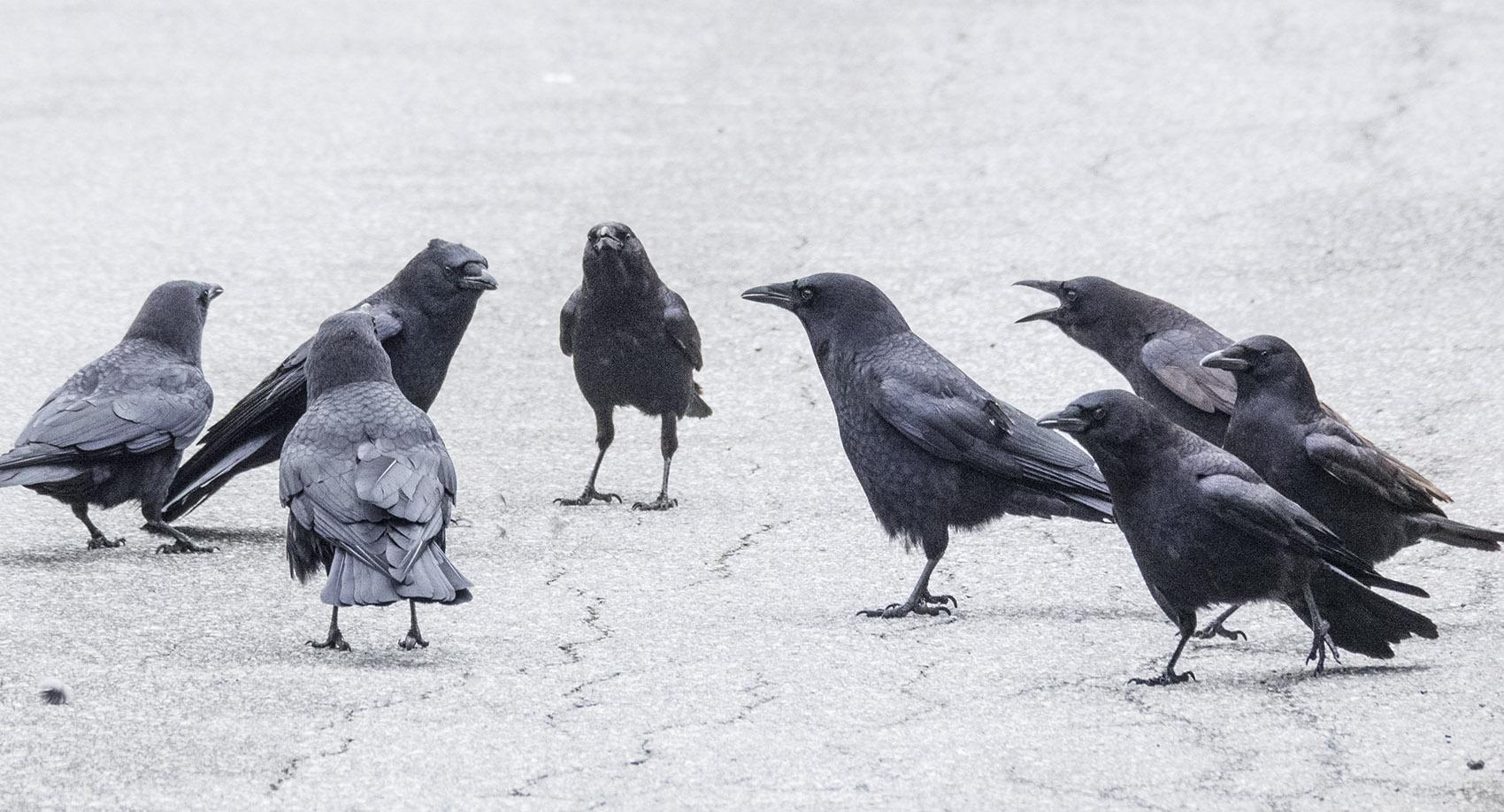Crow Fight Mediator