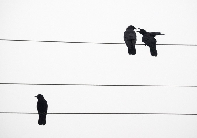 Crow Debate on Wires