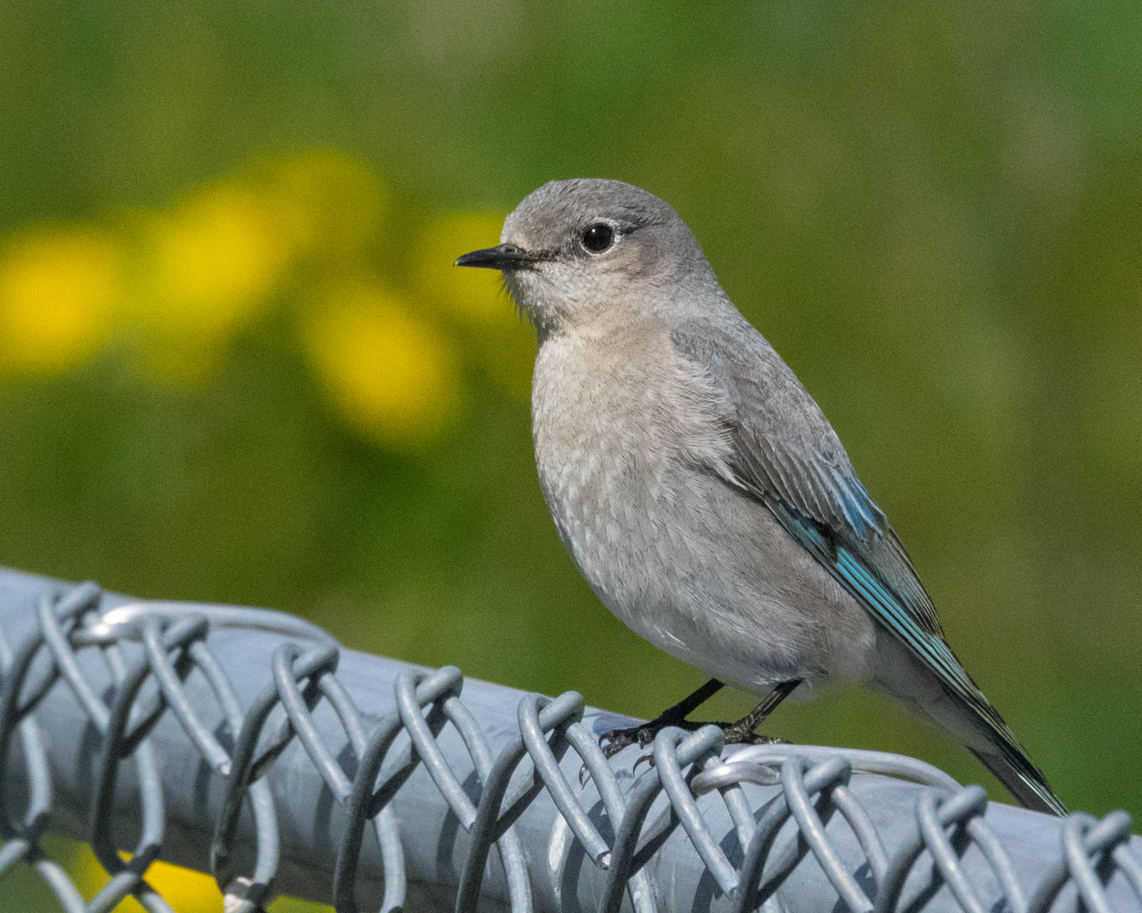 Female Bluebird on Fence