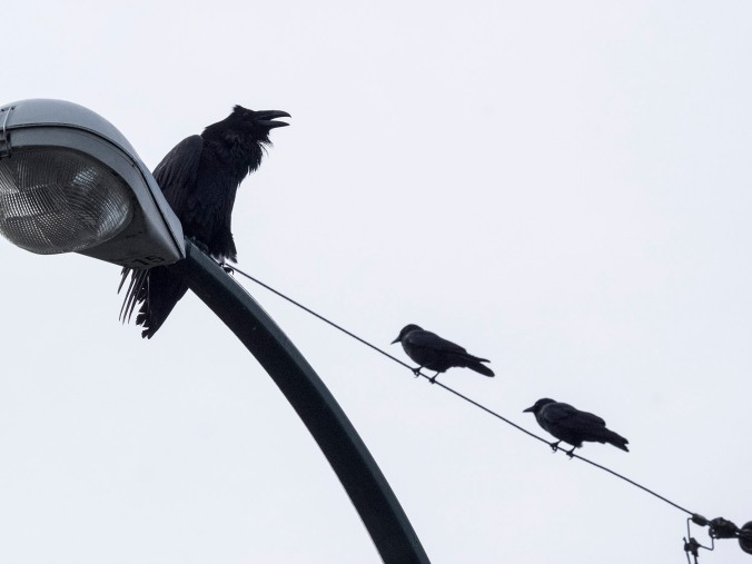 Raven with Two Crows