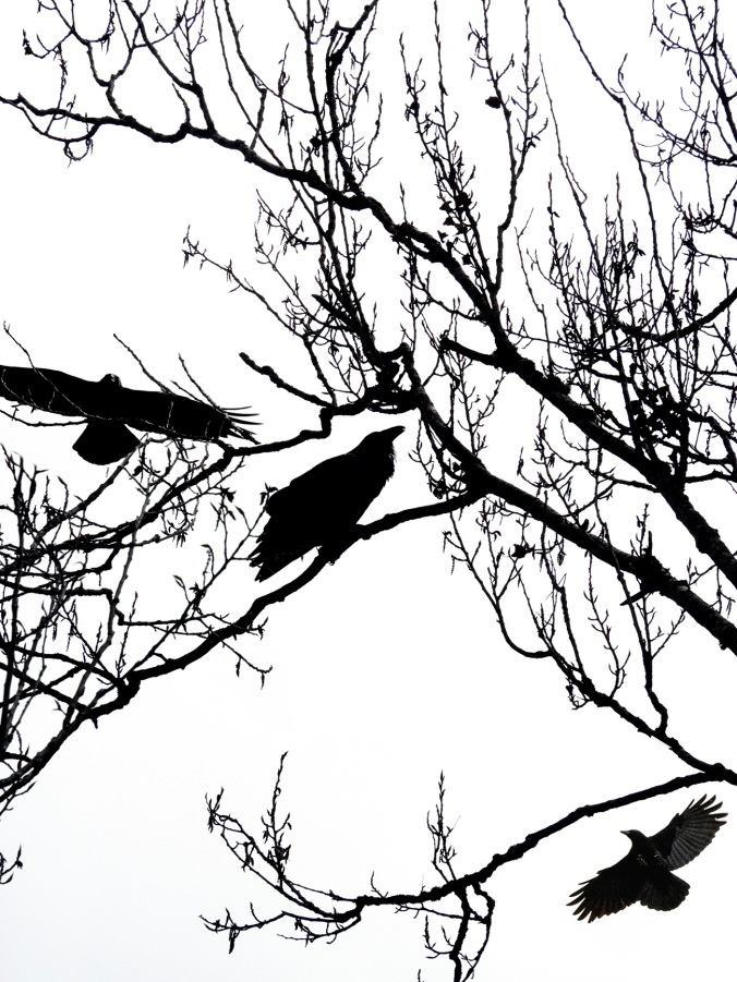 Raven Mobbed by Crows