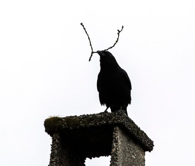 Antenna Crow