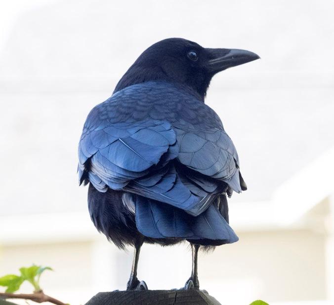 Vancouver Blue Bird