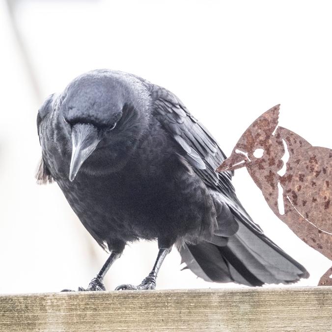 Crow Seeking Advice