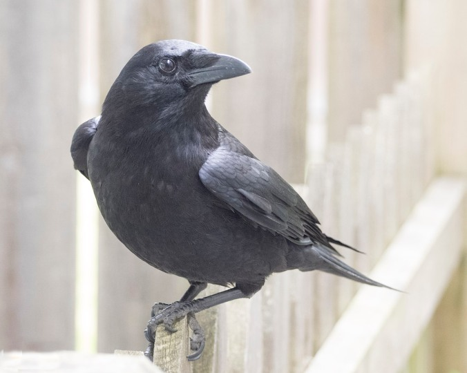 Picket Fence Crow