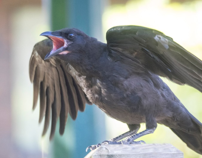 Calling Baby Crow