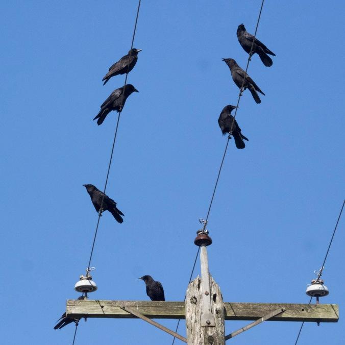 Crow Raccoon Committee