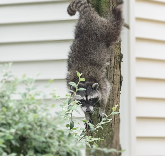 Raccoon climbs out of a tree