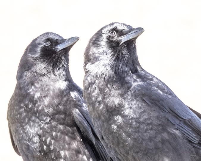 Crow Sky Watchers