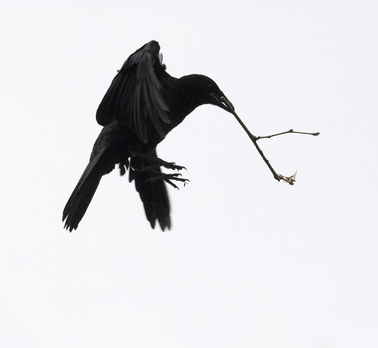 Baby Crow Flies with Twig
