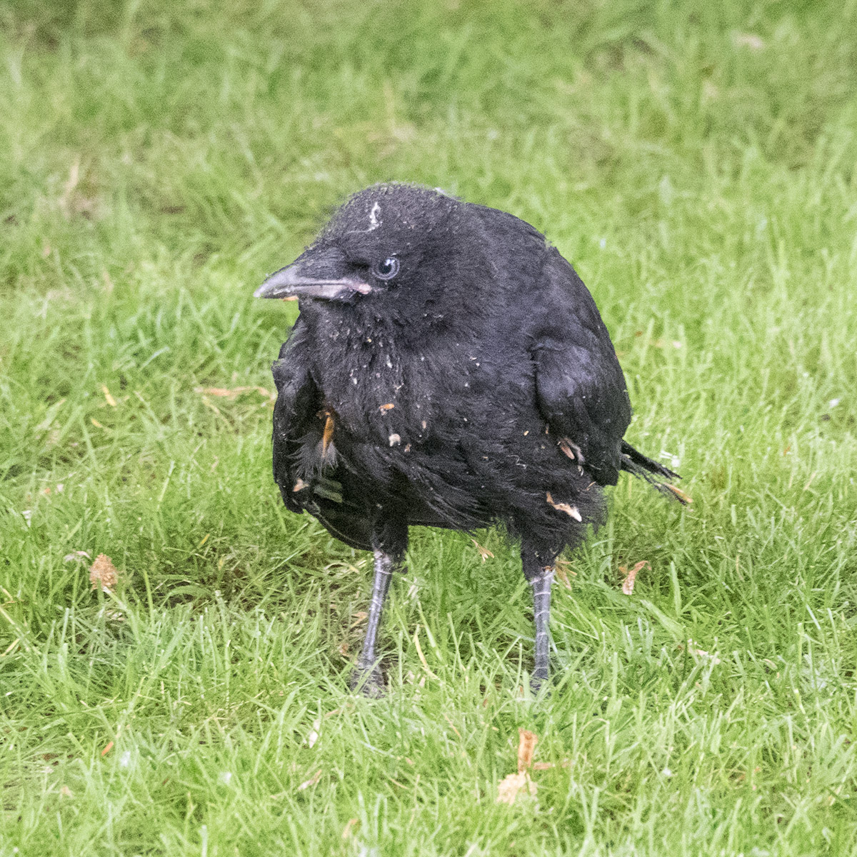 Baby Crow with Attitude