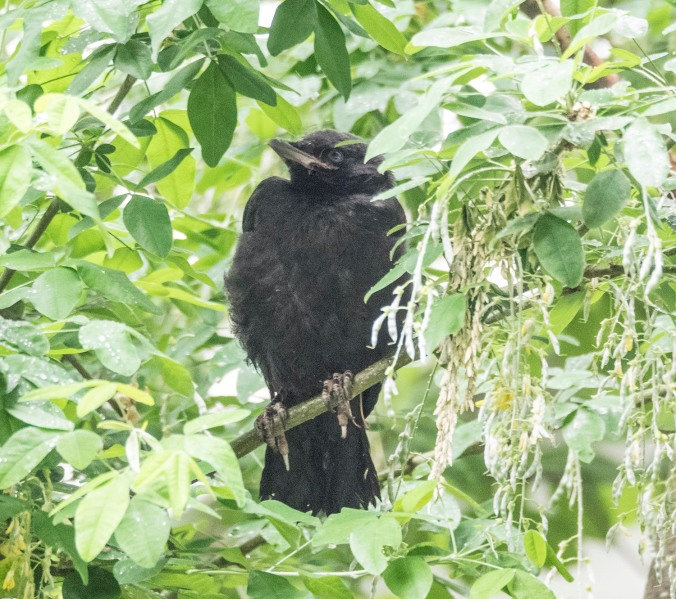 Baby Crow in Tree