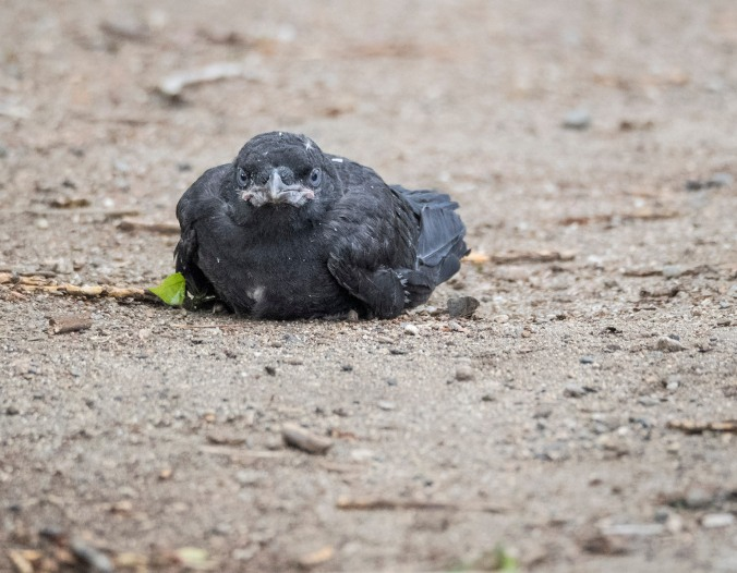 Baby Crow on the Ground