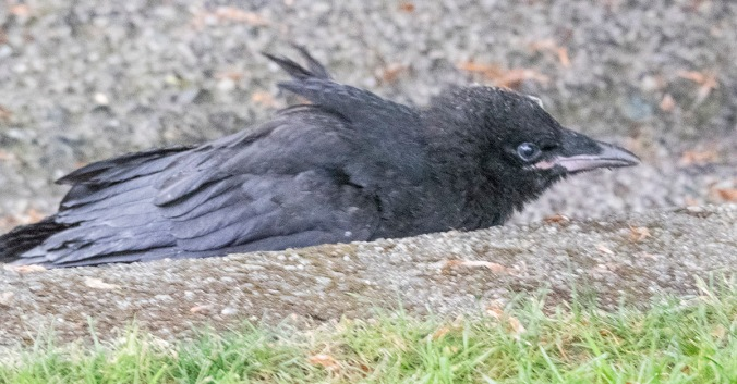 Baby Crow Shelters In Gutter