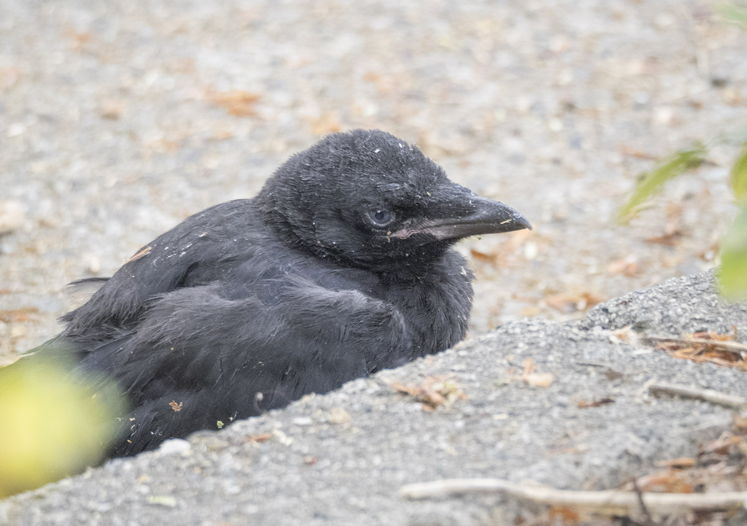 Baby Crow in Gutter