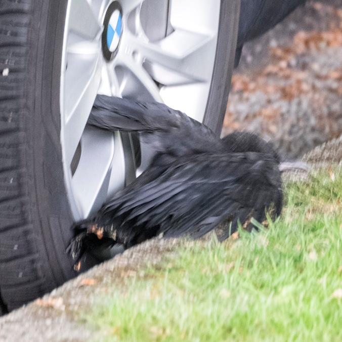 Baby Crow Struggles Out of Gutter Gap