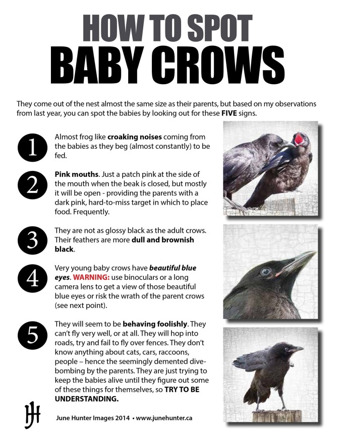 How to Spot Baby Crows