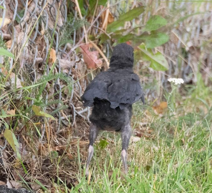 Baby Crow Hop