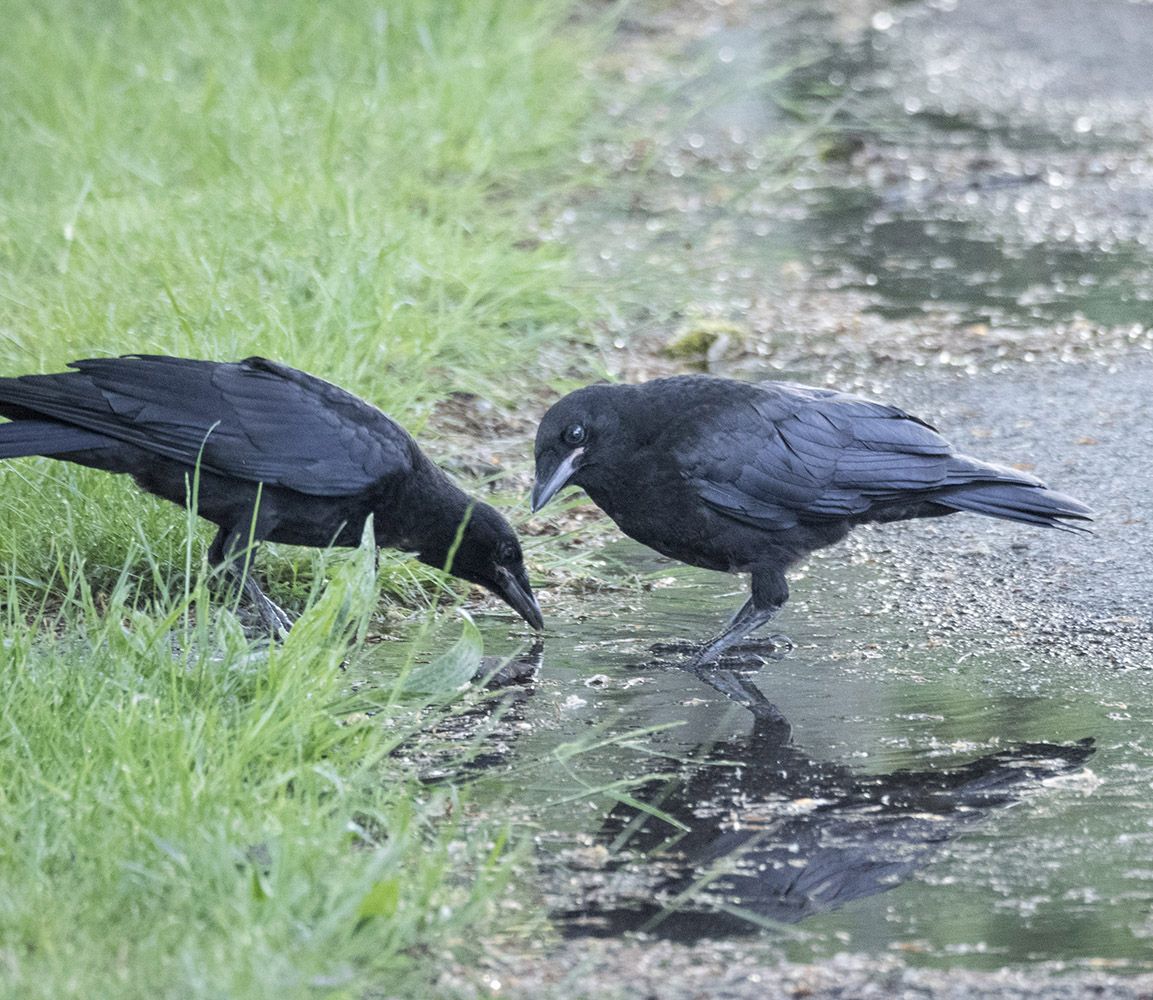 Crow Fledglings in Puddle