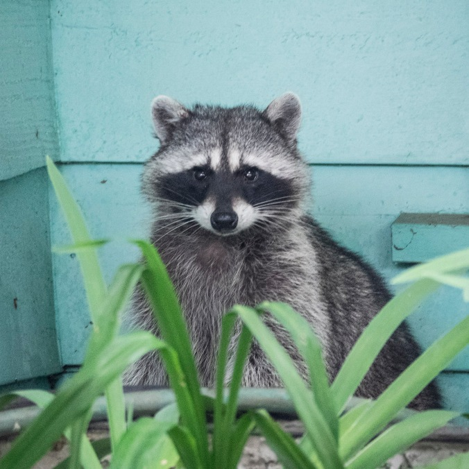 Raccoon with Turquoise Wall