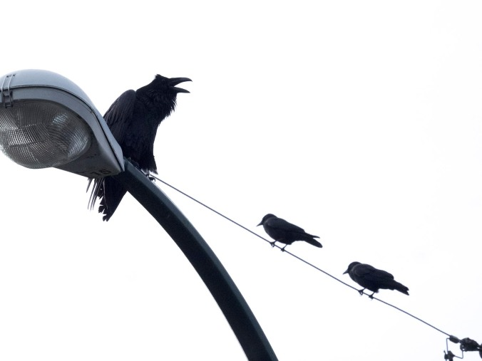 Raven and Two Crows on Wires