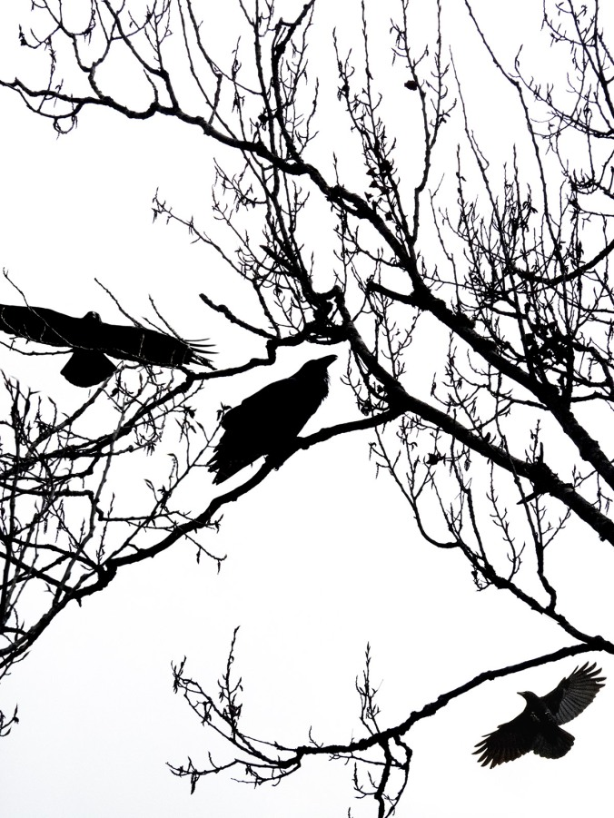 Crows Mob Raven
